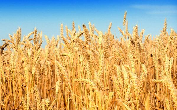 nhu hat lua mi 600x375 - Như hạt lúa mì